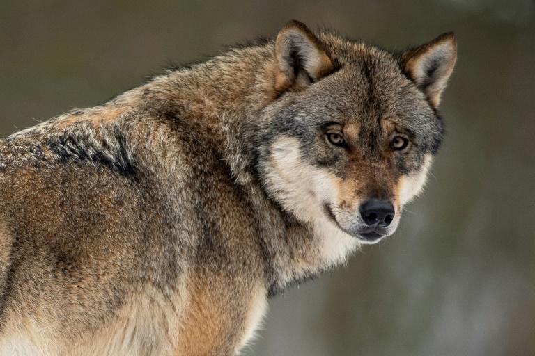 Norddeutsche Umweltminister fordern klare Regeln für Umgang mit Wölfen vom Bund (© 2019 AFP)