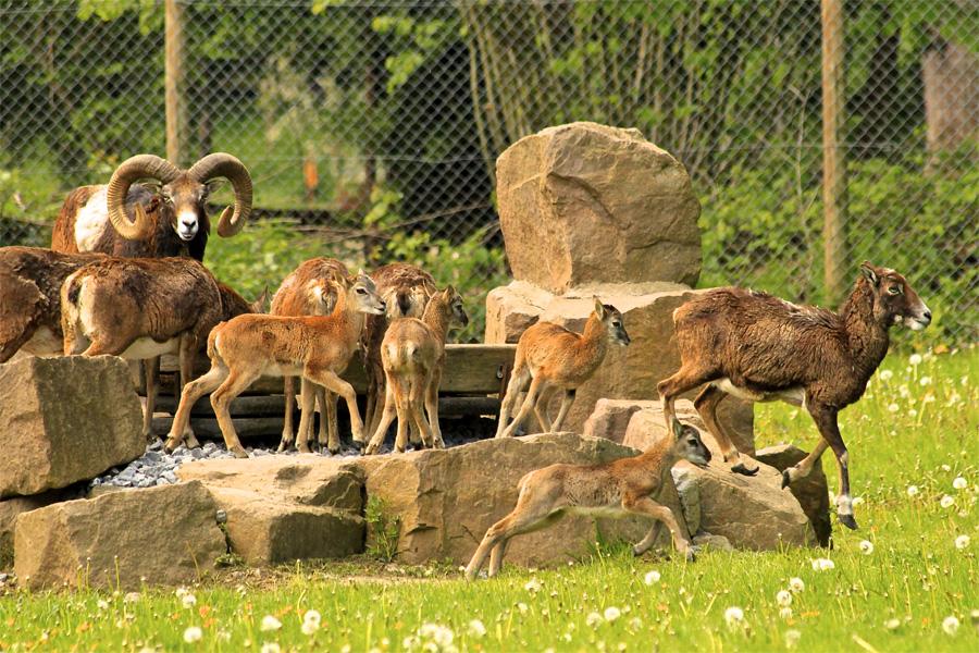 Nachwuchs bei Mufflons und Rotwild im Wildpark (Foto: Stadt Düsseldorf/Gartenamt)