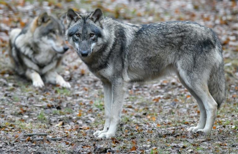 Bundeskabinett gibt grünes Licht für Abschuss von Wölfen