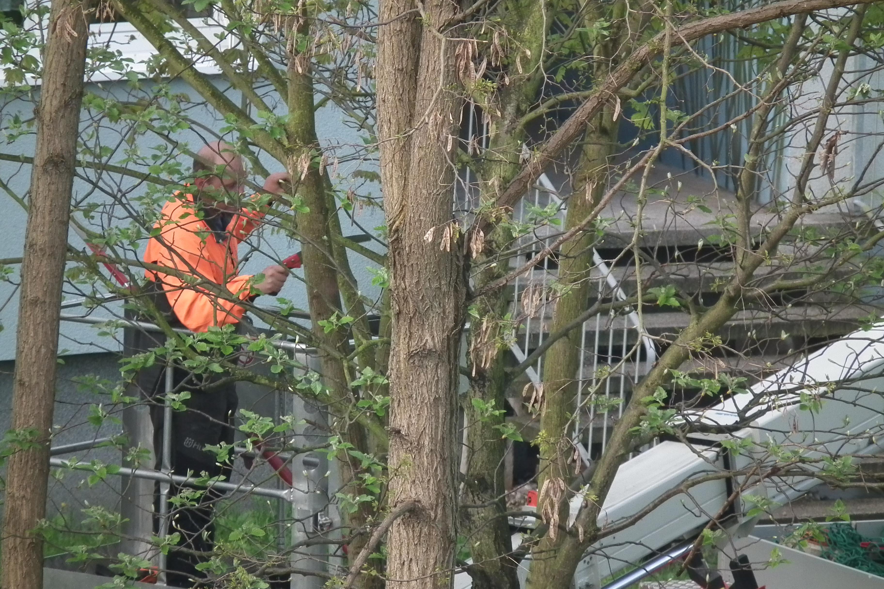 Baumpflegearbeiten an der Rheinallee(Foto: xity)