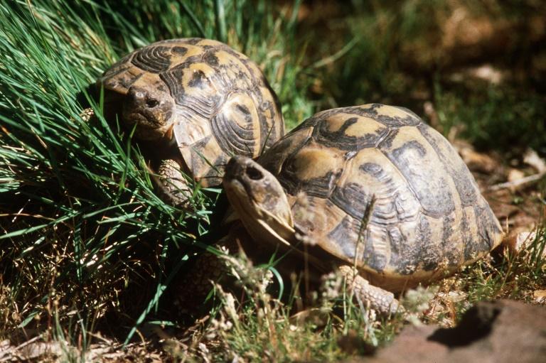 Senior-Schildkröte verursacht mehrere Beinaheunfälle auf Straße in Köln (© 2019 AFP)