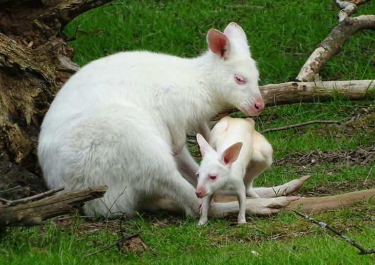 Albino-Känguru-Nachwuchs in Neunkirchen heißt Abori (© 2019 AFP)