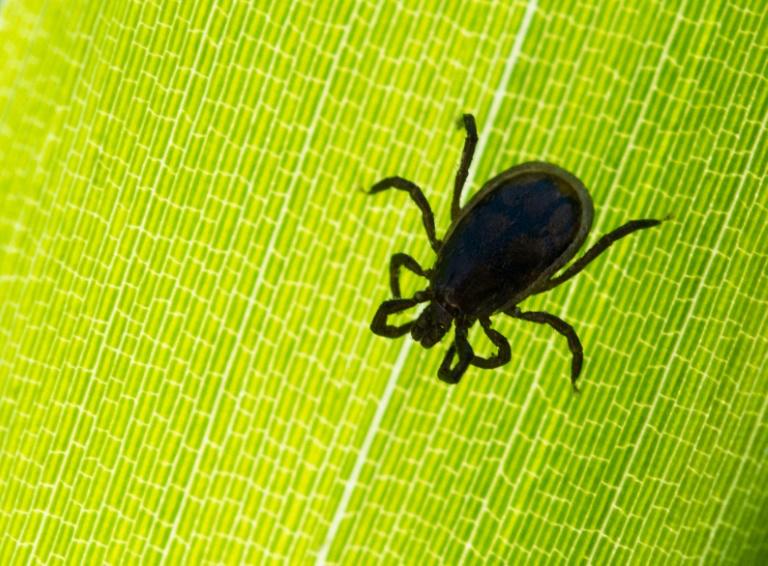 Experten: Tropische Zeckenart überwintert erstmals in Deutschland