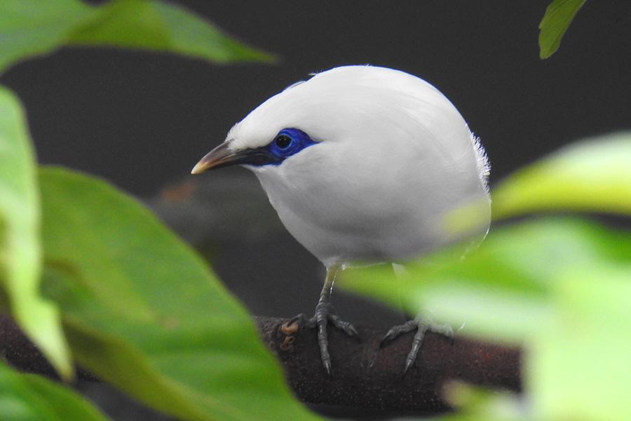 Auch der Balistar im Aquazoo gehört zu den hochgefährdeten Singvögeln Asiens (Foto: Stadt Düsseldorf)