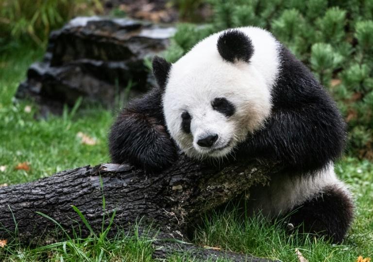 Erste Anzeichen für Trächtigkeit bei Berliner Pandadame Meng-Meng (© 2019 AFP)