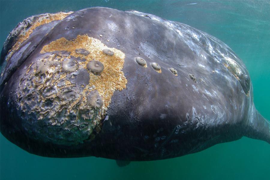Der dicke Wal und das Raubtier