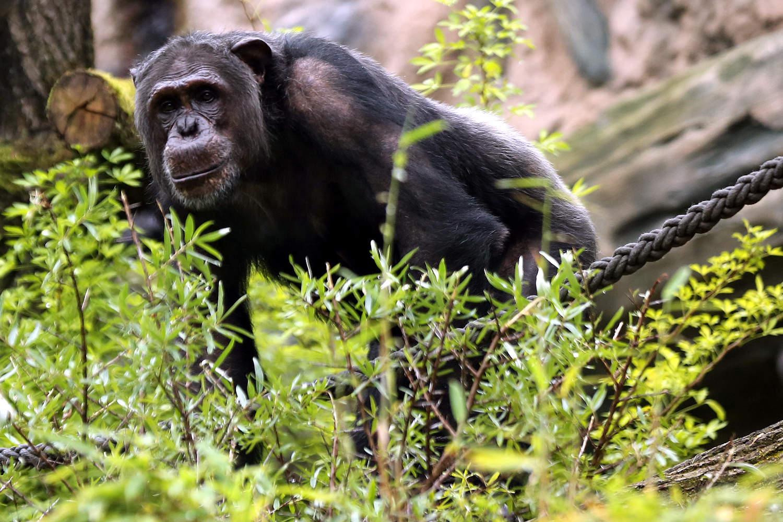 Schimpanse Epulu (Foto: Scheer)