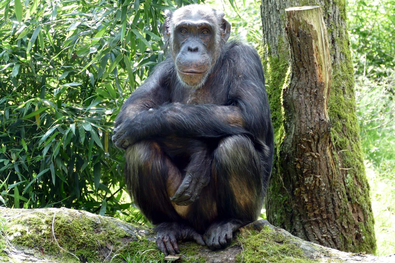 Schimpanse Kitoto (Foto: Klee)