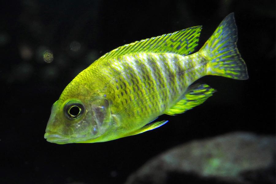 Im Süßwasser leben farbenfrohe Fische wie dieser Buntbarsch, den es optimal abzulichten gilt (Foto: Aquazoo Löbbecke Museum)