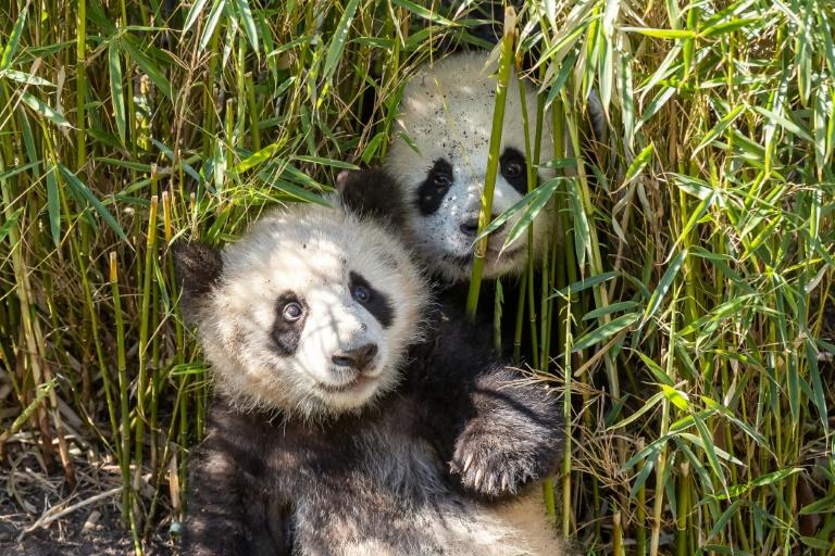 Berliner Pandazwillinge genießen den Sommer im Schatten