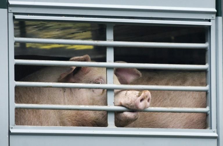 Hepatitis-E-Viren in Schweinefleisch und Schweineleber nachgewiesen (© 2020 AFP)