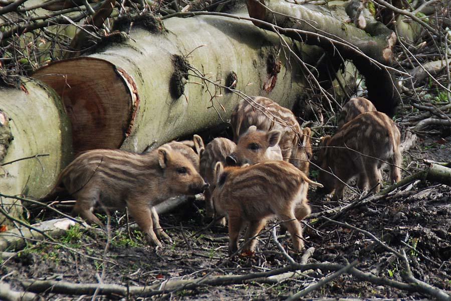 Archivbild: Frischlinge im Wildpark (Foto: Stadt Düsseldorf)