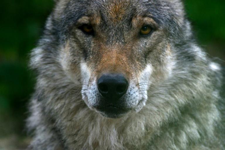 """Wölfin """"Gloria"""" darf in Nordrhein-Westfalen nicht abgeschossen werden (© 2021 AFP)"""
