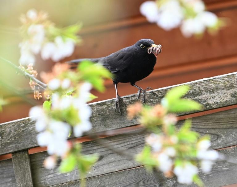 Nabu zieht positive Zwischenbilanz jährlicher Vogelzählung (© 2021 AFP)