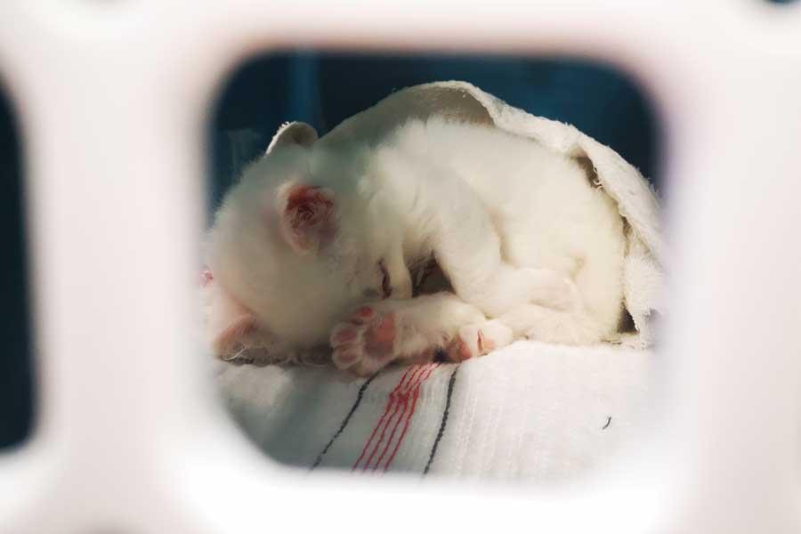 Reisender bringt kranke, ungeimpfte, vier Wochen junge Katze aus Tunesien mit (Foto: Zoll Düsseldorf)
