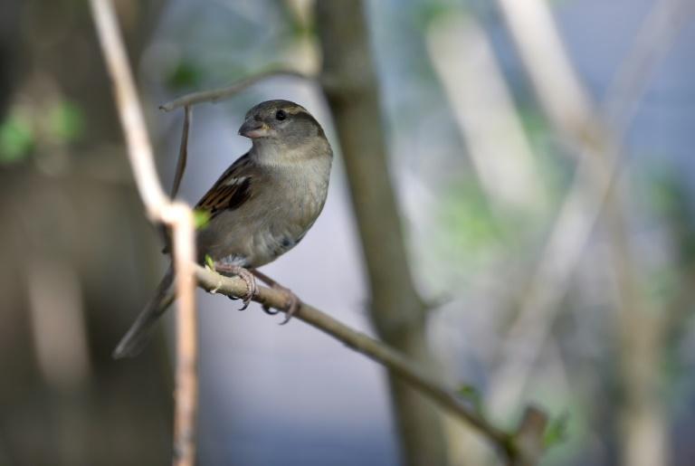 Naturschützer zählen mehr Vögel in deutschen Gärten (© 2021 AFP)
