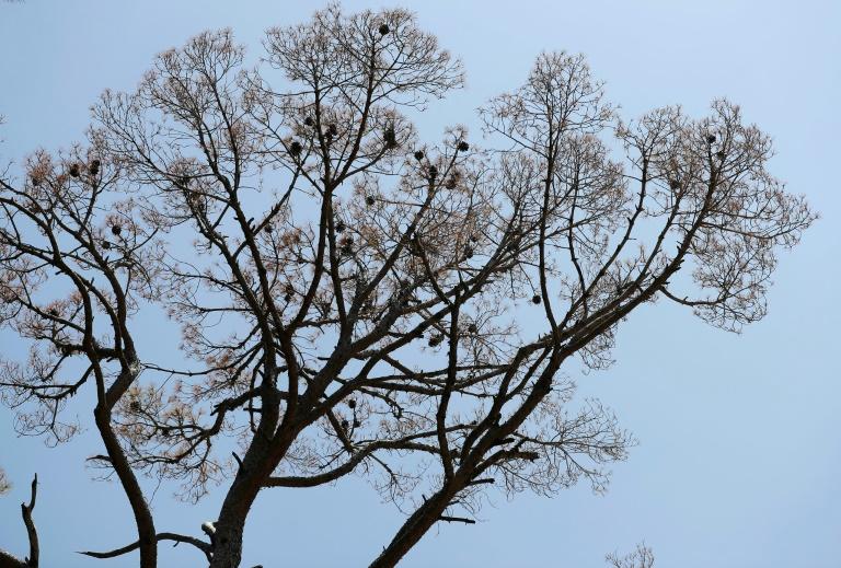 Herüberragender Baum darf auch bei drohendem Absterben zurückgeschnitten werden (© 2021 AFP)