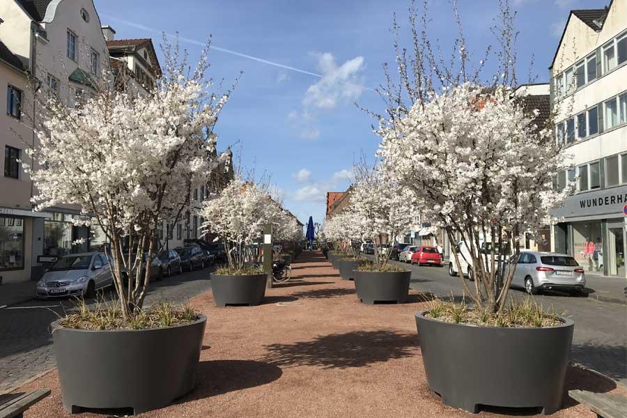 Die Wirkung von 22 Brautkirschbäume auf dem Kaiserswerther Markt auf das Klima vor Ort soll untersucht werden (Foto: Stadt Düsseldorf, Umweltamt)