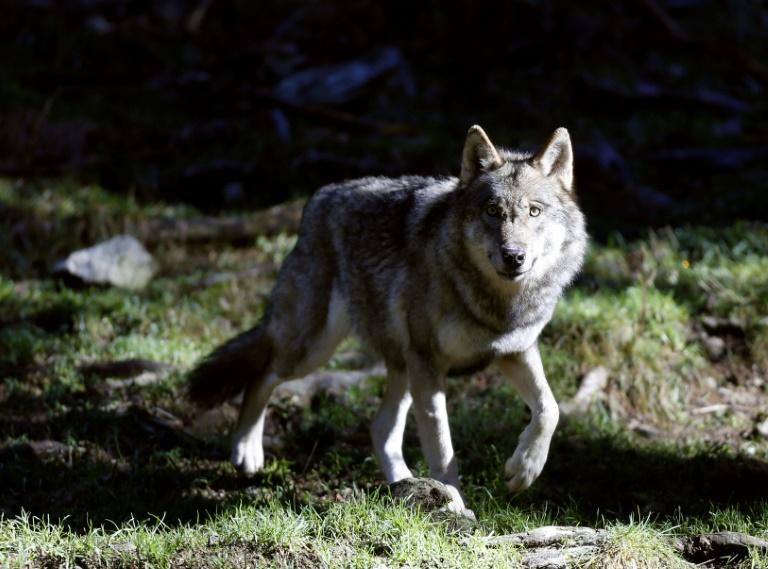 Agrarministerin Klöckner fordert gezielten Abschuss einzelner Wölfe (© 2021 AFP)