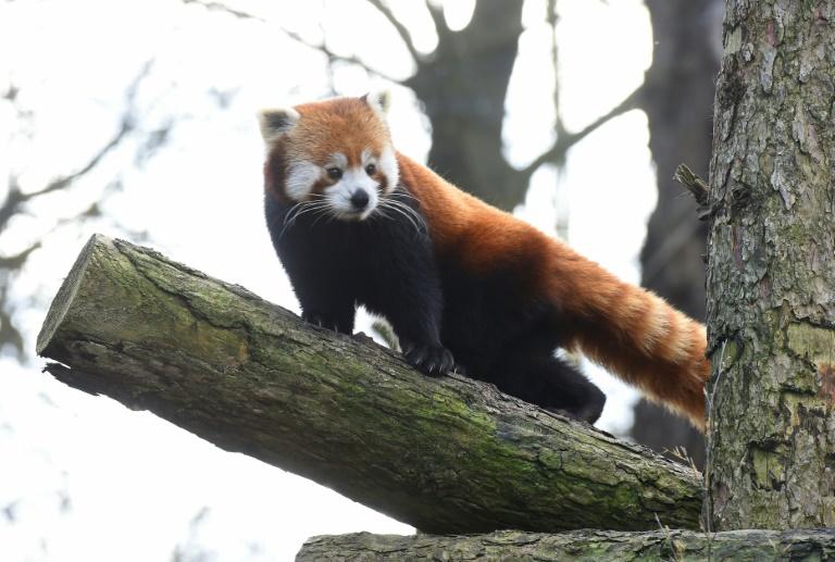 Aus Gehege ausgebüxter Roter Panda nach großangelegter Suchaktion gefunden (© 2021 AFP)