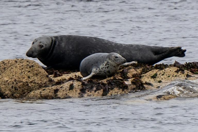 Erneut mehr Kegelrobben im Wattenmeer der Nordsee geboren (© 2021 AFP)