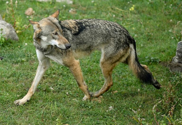 Bericht: Wolfsschäden gehen erstmals seit Jahren zurück (© 2021 AFP)