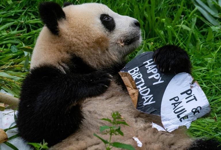Bambustorte für Berliner Pandazwillinge zu zweitem Geburtstag (© 2021 AFP)