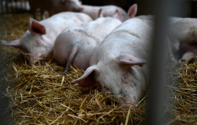 Greenpeace: Herstellung tierischer Lebensmittel umweltschädlicher als angenommen (© 2021 AFP)