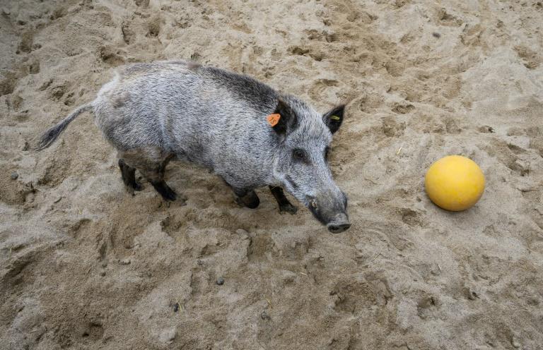 Wildschwein randaliert in Mehrfamilienhaus in Darmstadt (© 2021 AFP)